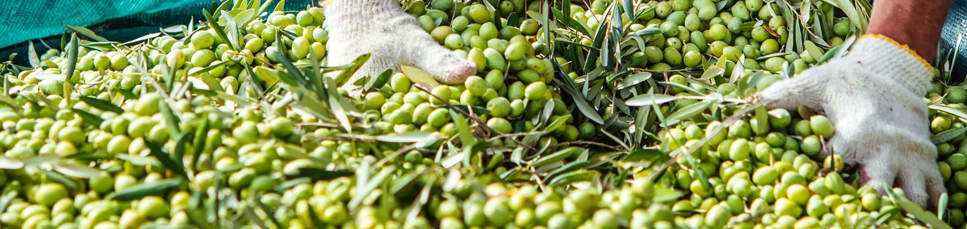 olive harvest elitagro
