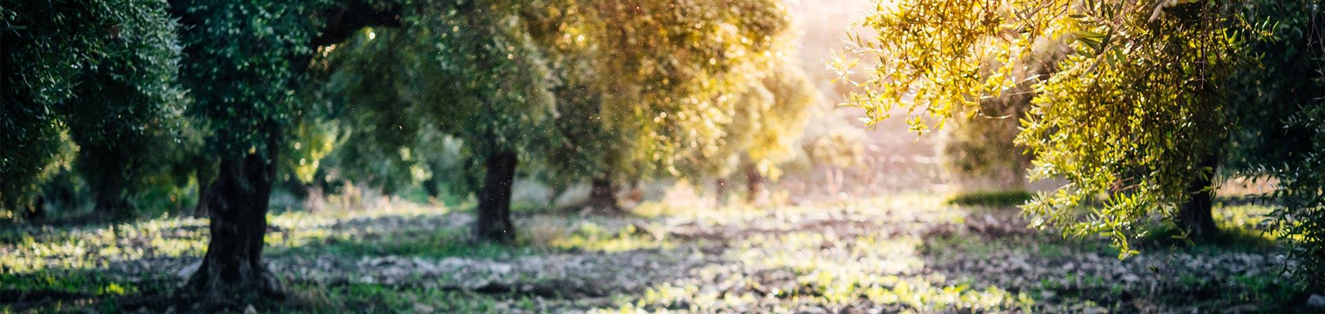 olive tree harvest elitagro